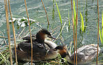 Ducks amongst rushes on river bank