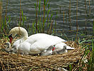 Swan and tiny cygnets in nest on a river bank