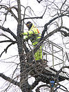Council worker cutting tree